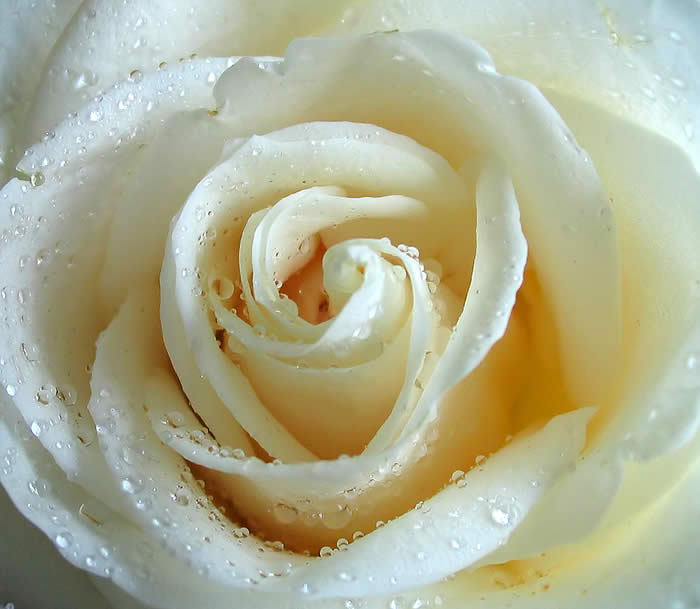 The Rose…  The-rose